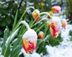 Winter is back (bayernphoto) Tags: winter frühling spring schnee snow tulpe tulpen tulip garten garden münchen munich wintereinbruch kälte kalt cold colorful frieren freezing schock ungemütlich kontrast warm