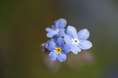 Primavera. (Amparo Hervella) Tags: nomeolvides macro españa spain naturaleza d7000 nikon nikond7000 madrid jardínbotanico
