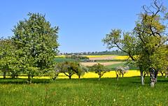 Entre prairie et colza (Diegojack) Tags: vufflenslaville vaud suisse paysages campagne