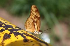 Borboleta bairro São João JM - Wir Caetano - 26 04 2017 (36) (dabliê texto imagem - Comunicação Visual e Jorn) Tags: borboleta inseto amarelo escada ferrugem