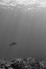 IMG_1135 (nealmoc) Tags: kona bigisland hawaii kailuakona underwater rebreather poseidon nobubbles underwaterphotography canon nauticamhousings