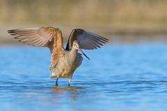 Marbled Godwit (Amy Hudechek Photography) Tags: marbledgodwit shorebird nature wildlife colorado migration amyhudechek spring bath nikond500 nikon200500f56