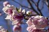 Magnolia blossom. (azh565) Tags: hungary budapesht magnolia blossom spring color d2x ngc nature