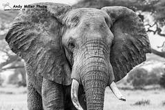 20160217-08-01-14_C018588 BW 2000px (ajm057) Tags: 8takenusing africa africanelephantloxodontaafricana africanbushelephantloxodontaafricana amboselinationalpark andymillerphotolondonuk blackwhitephotography elephantidaeelephants kenya loxodonta mammal nikond810 proboscideaelephants reservesparks wildlifephotography kajiado ke african elephant