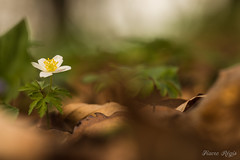 To the sky.... (regisfiacre) Tags: anemone nemorosa bois fleur flower flore flora blume nature sauvage sol groung forest forêt woods macro macrophoto macrophotographie macrophotography canon 5div mark iv 4 plein format wild full frame bokeh feuilles leaves sigma 150mm apo ex dg hsm os ngc