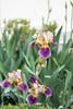 붓꽃 Iris (Daegeon Shin) Tags: 붓꽃 iris nikon d750 365 flor flower spring primavera nature dof bokeh nikkor 55mmf28 니콘 니콘렌즈 꽃 봄 심도 보케 빛망울 자연