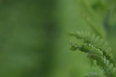 The secret life of ferns (RW-V) Tags: canoneos70d canonef100mmf28lmacroisusm delevenstuinenvanhetgroothontschoten teuge apeldoorn gelderland nederland niederlande paysbas the netherlands natur nature sooc fern varen fougère farn green grün groen vert 80faves 100faves 120faves 150faves 175faves 200faves