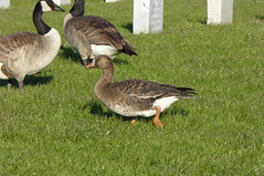 Greater White-fronted Goose (rudeyard) Tags: greaterwhitefrontedgoose gwfg anseriformes colmacemetery