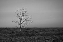 Defiant (Trace Connolly) Tags: australia leighcreek southaustralia black white blackandwhite exposure light tree flat monochrome country outback desert flindersranges rural sky nature bw landscape