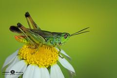 Chicharra (richeaandrei) Tags: wild canon outdoor macroelsalvador macroefolie macro canon70d 100mmusm green flower insect wildlife