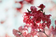 Plum tree (yasu19_67) Tags: minoltaα7 mcjupiter9 jupiter985mmf2 85mm russialens film filmism filmlike analog filmphotography photooftheday atmosphere osaka japan flower bokeh fujifilm 業務用100