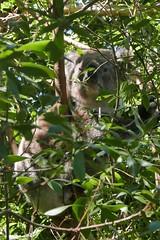 Der Quotenkoala tut, was ein Koala am Tage tut. Schlafen und zwischendurch ein paar Blätter mümmeln.