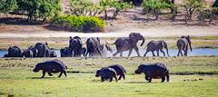 reaching   the other river bank (werner boehm *) Tags: wernerboehm chobenp gamereserve ekephant wildlife rhino flusspherde botswana africa afrika safari