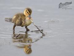 Baby Duck 5_8 (krisinct- Thanks for 15 Million views!) Tags: nikon d500 500 f4 vrg