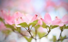 Landed Clouds (Lala Lands) Tags: dogwoodblossoms cornus pinkdogwoodflowers springflowers floweringtrees springeveninglight stanleypark shallowdepthoffield dof nikkor105mmf28 nikond7200