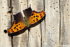 Shhh... I'm counting the holes! (Vie Lipowski) Tags: easterncomma polygoniacomma butterfly insect bug treetrunk woodstump deadtree hole holes wildlife nature macro
