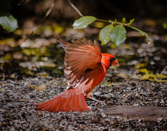 Give the ones you love wings to fly,   . (knoxnc) Tags: malecardinal redbird outdoor nature red male closeup wings landing nikon d7200 birdfeeder duke nc dukegardens bokeh hollybush