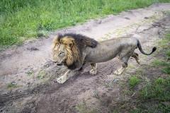 Lion (Sheldrickfalls) Tags: lion pantheraleo lioncloseup leeu sabisands krugernationalpark kruger krugerpark mpumalanga southafrica nottensbushcamp