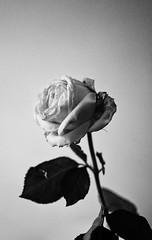 Sunday roses (Claudio17177) Tags: samerose rose stilllife blackandwhite nikon d90 grain dslr sunday flowers closeup contrast filter highcontrast longexposure nightphotography stillphotograpy indoor singleflower singlerose