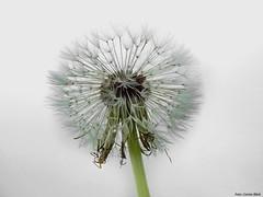 Dandelion (Corine Bliek) Tags: bloem flower bloemen flowers blossom flowering bloei pluis pluizen asteraceae parachute