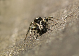 jumping spider for macro mondays 'into the woods'