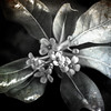 Pitosforo (︎) Tags: andrea lazzarotto pitosforo fiore pittosporum profumo flower texture