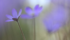Hepatica 15 (jttoivonen) Tags: nature flower plant blue spring bokeh macro closeup finland creativecommons