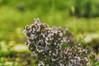 Tomillo o Thymus en flor (ℝakel_ℰlke ﴾͡๏̯͡๏﴿) Tags: rakel raquel elke rakelelke raquelelke rakelmurcia regióndemurcia murcianorte murcia españa spain espagne europa europe nikon nikond300s d300s nikkor18–200 objetivo18200mm tomillo divisiónmagnoliophyta clasemagnoliopsida ordenlamiales familialamiaceae subfamilianepetoideae tribumentheae génerothymus reinoplantae thymus thymusvulgaris flower fleur fiore blumen кветка květina cvjetni kvetina floro lill lore kukka blodau λουλούδι פרח फूल paj bloem virág bunga blóm フラワー zieds žiedas цвет kwiat floare цветок blomma çiçek квітка hoa