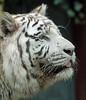 white tiger Amersfoort JN6A2250 (joankok) Tags: tiger tijger wittetijger whitetiger bengaalsetijger bengaltiger amersfoort kat cat asia azie mammal zoogdier dier animal