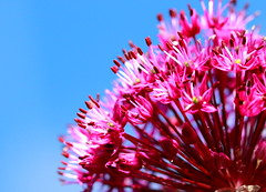 Purple Explosion (acwills2014) Tags: purple allium blue sky ball bluesky explosion blast crop frame
