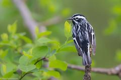 BJ8A2850-Black-and-white Warbler (tfells) Tags: blackandwhitewarbler passerine bird nature wildlife newjersey mercer baldpatemountain