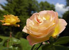 paris-155 (gabriel_flr) Tags: paris france seine ladéfense toureiffel bateaux grandearche gabrielflr gabrielflorea blueskies puteaux courbevoie macron investitureduprésident notredame rose roses rosen trandafiri trandafir blooms blumen fleures rosa