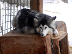Dog observing (lmundy2002) Tags: dogs dogsled dogsledding huskies sleds whitefish olney whitefishmt olneymt montana mt winter wintersports