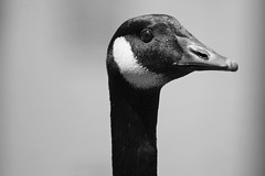 Canada Goose portrait (karma (Karen)) Tags: parkschool pikesville maryland canadageese monochrome bw sliderssunday hss topf25 cmwd