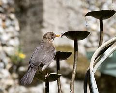 A beakful of water (sasastro) Tags: blackbird water droplet