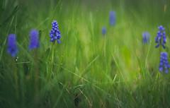 Little beauties (marcmayer) Tags: spring fürhling nature natur flower blume traubenhyazinthe nikon d5200 bokeh dof depth field nikkor 50mm f18 green grün plants