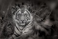 Tiger_54I5018-040517 (Jayne Bond) Tags: bandhavgarh india tiger tigercubs kankatti cat bigcat mon monotone blackandwhite