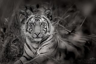 Tiger_54I5018-040517