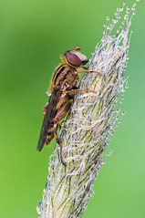 Hoverfly (-denju-) Tags: sonynex5t canonef100mmf28macrousm berlebachmini tripod wemacrorail naturallight heliconfocus lightroom photomacrography focusstacking focusstack fieldstack makro macro insect insekt morgen tau dew schwebfliege fliege