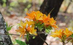Flame Azalea by Jackie B. Elmore 4-21-2017 Sevier Co. TN (jackiebelmore) Tags: rhododendroncalendulaceum flameazalea shrub nikond80 sevierco tennessee jackiebelmore