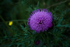 binary star (l e o j) Tags: canon eos kiss x2 rebel xsi 450d japan miyazaki miyakonojo thistle wildflower wildflowers yellow purple weeds grass 宮崎 都城 野草 草 薊 アザミ