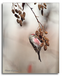 103A1540-DL  Sizerin flammé / Common Redpoll.