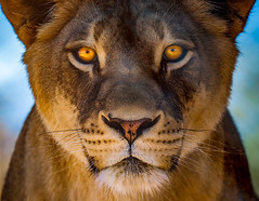 Staring Contest (danielledufour430) Tags: lion animal lioness predator carnivore mammal cat feline bigcat face eyes beautiful sonya6000 nature wildlife