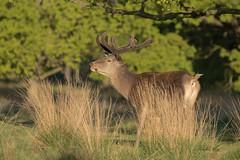 Red-Deer-8068 (Kulama) Tags: reddeer deer nature wildlife woods stag bracken fern grass autumn spring morning canon7dmarkii sigma150600563c
