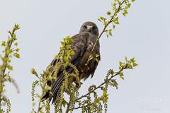 Swainson's Hawk focuses on the photographer