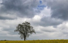 LONELY LITTLE TREE (EXPLORED #211 MAY 7TH 2017) (mark_rutley) Tags: lonetree thelonetree lonelytree singletree field farm rapeseed clouds sky hampshire wranford