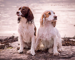 Bunty & Fletcher.. (Scottish Mary Moo) Tags: dogs spaniels posing pet portrait petportrait beach hopeman moray scottish highlands scotland