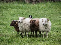 P4230578 (zullo_stefano) Tags: dog pet farm sheep sheepdog herding workingdog shepperd italy nature green fiield olympus e5 zuiko training border bordercollie