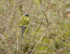 siskin male Spinus spinus fringillidae (BSCG (Badenoch and Strathspey Conservation Group)) Tags: bird badenoch sk