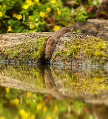 A bank vole having a drink (Steven Whitehead) Tags: mouse water drinking reflection 2017 canon 500mm 500mmf4 500mmf4is canon500mm canon5dmk4 wildlife wild nature woods tree trees feeding fur